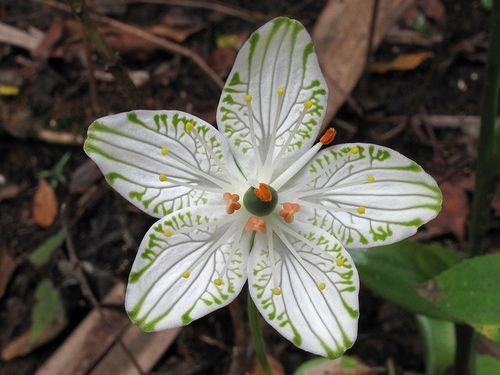 Parnassia grandifolia, Ocala National Forest, Marion County, Florida 2 . Picture by Alan Cressler