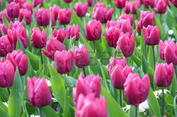 spring gardens: Close up of beautiful tulips in spring in the Netherlands