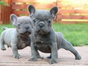 French bulldog for sale… OH!!! If I only had a spare $1200 laying around. That face is so cute! by ernestine