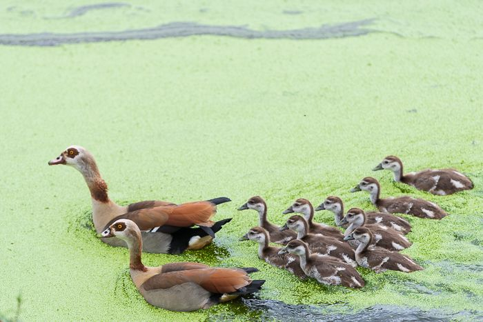 A protective couple of Egyptian Geese usher their youngsters to safety. Photograph by Simon Smit