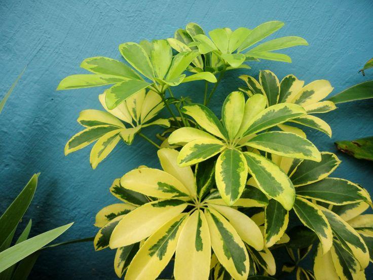 Aralia (Schefflera arboricola)