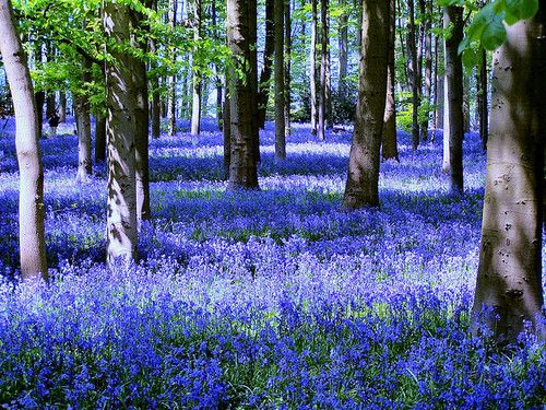 Bluebell Forest, Coton Manor, England ~ photo via http://emp0rium.tumblr.com/