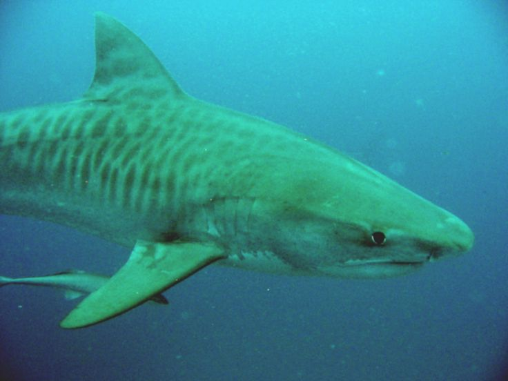 """""""tiger sharks"""" are known as the garbage cans of the sea because they eat anything with a pulse and sometimes even things without one. They hunt in shallow waters for turtles, crabs and other things"""