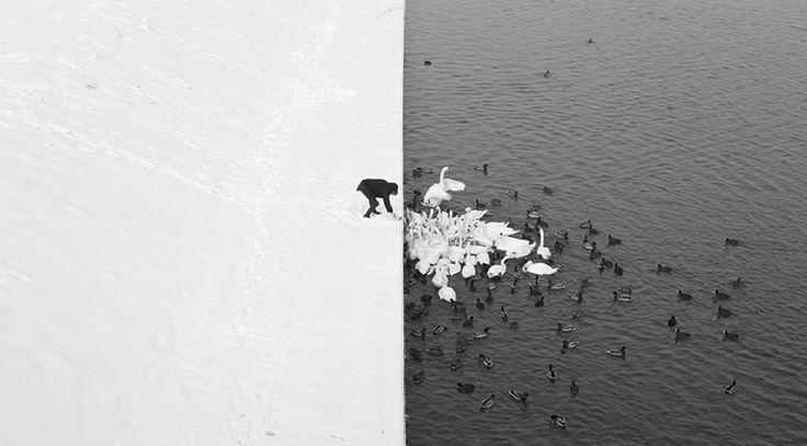 """""""Mężczyzna karmiący łabędzie na śniegu"""" - zdjęcie Marcina Ryczka"""