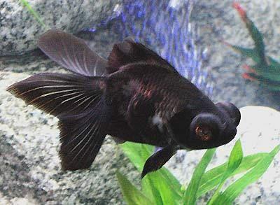 Black Moor Goldfish, Carassius auratus, Black Demekin, Black Peony Goldfish, Dragon Eye Goldfish