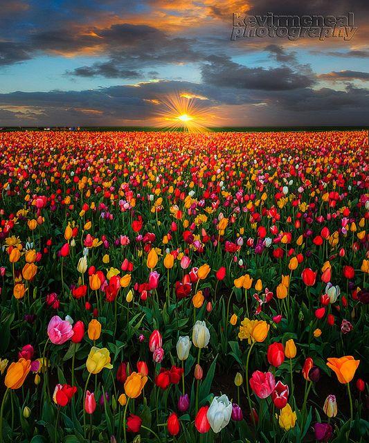 Sunrise Sunburst Over Woodburn Tulip fields, Oregon