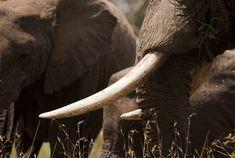 Passage To Africa - Serengeti - Tanzania #Elephants
