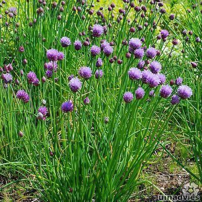 Allium schoenoprasum - Bieslook in de Digituin.