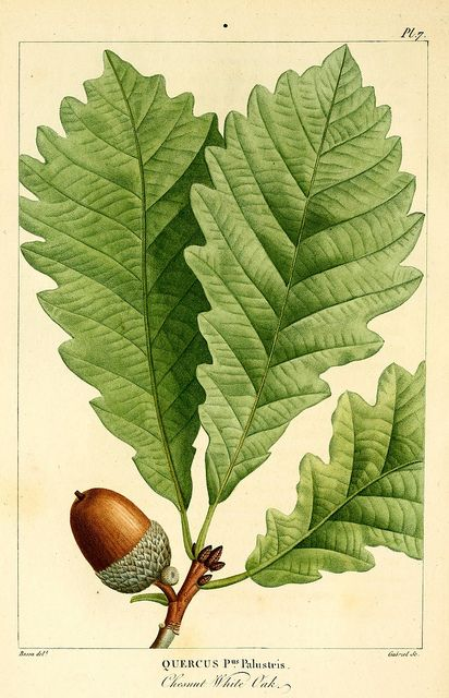Biodiversity Heritage Library / vintage print. #acorn #autumn