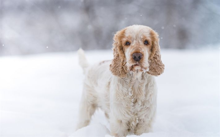 Download wallpapers cute dog, Cocker Spaniel, winter, snow, furry dog, pets