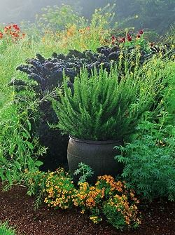 A pot of rosemary flourishes in front of deep purple Redbor kale. Tangerine Gem marigolds bloom at the base of the pot.