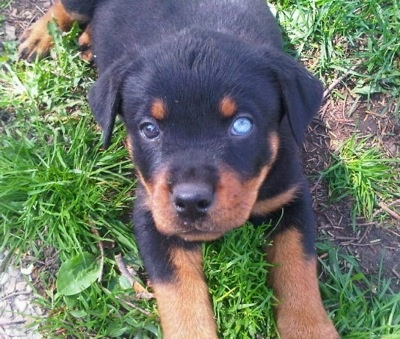 Rottweiler Pictures and Photos, 1. This dog has one blue eye and one brown one.
