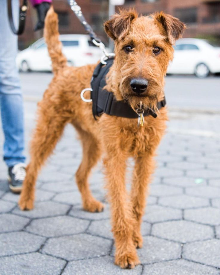 "Barkley Irish Terrier (1 y/o) 72nd & Riverside Dr. New York NY ""I was going to name him 'Bartley' an Irish name but I thought 'Barkley' was more fitting."" by: @thedogist"