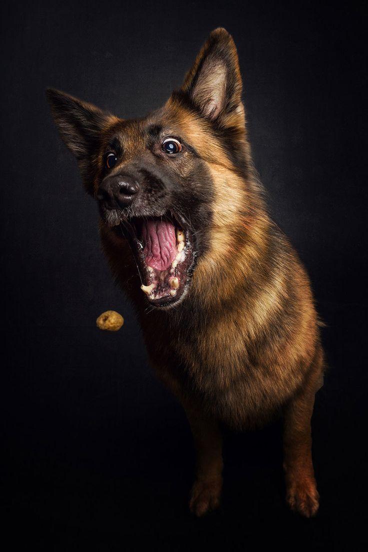 Веселые фотографии собак, пытающихся поймать летящие угощения