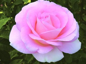 Falling in Love Rosa Hybrid Tea Whether you're experiencing it 'again' or for the 'first time', Falling in Love (the rose) makes your heart ...