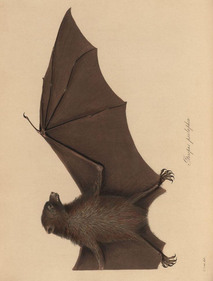 drawing from Captain Beechey's voyageBats Wings, Bats Illustration, Bats Art, Naturalist Illustration, Bat Wings, Beechey Voyage, Nature History, Captain Beechey, Halloween Diy