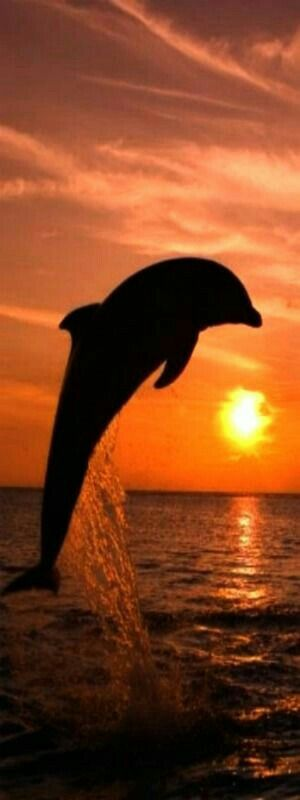 Dolphin jumping out of ocean sea water in golden sunset. Fantastic photo. Please also visit www.JustForYouPropheticArt.com for colorful inspirational Prophetic Art and stories. Thank you so much! Blessings!