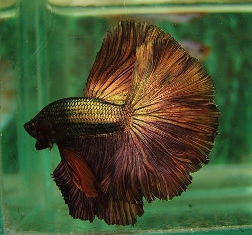 Copper gold fish