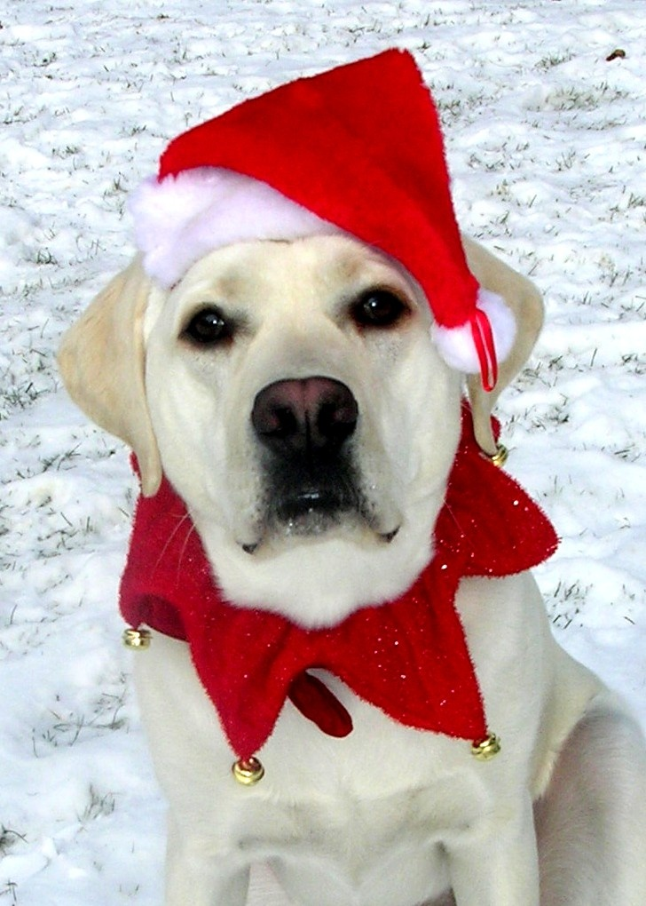 christmas is always fun with a yellow lab around