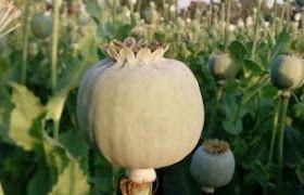 काला सोना यानि अफीम की फसल किसानो के लिए वरदान या अभिश्राप ।