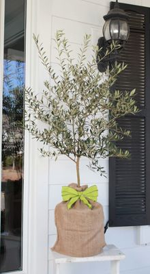 Arbequina Olive Tree - Gift
