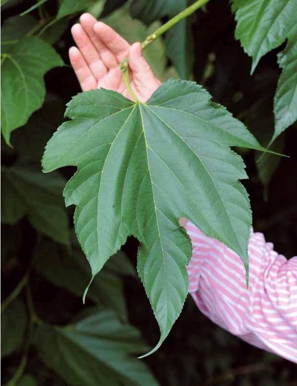 Mûrier à grandes feuilles