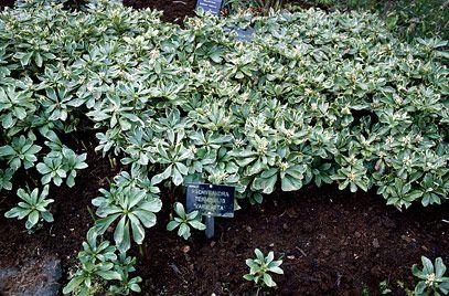 RHS Plant Selector Pachysandra terminalis 'Variegata' (v) AGM / RHS Gardening