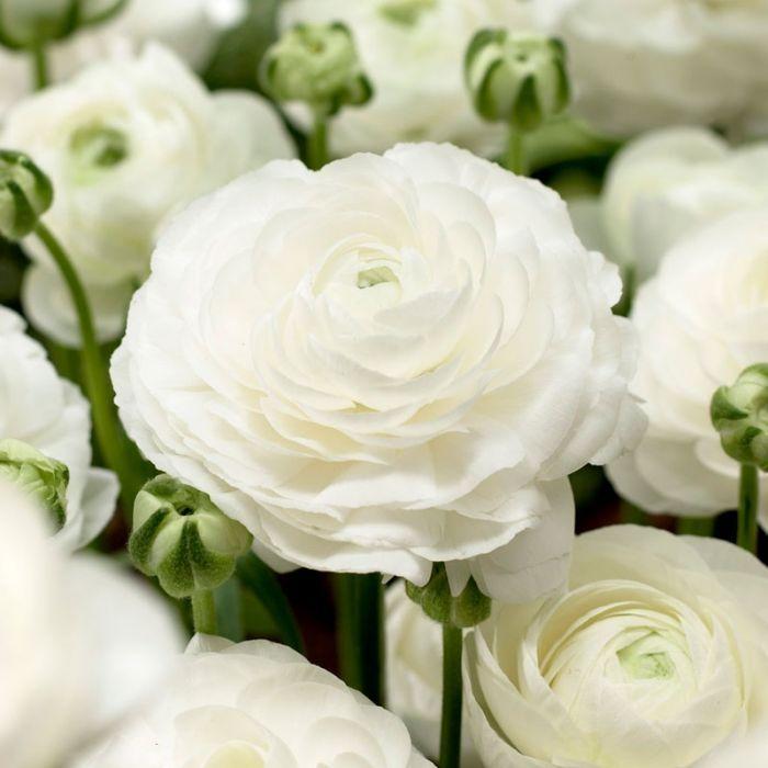 Tecolote White Ranunculus Ranunculus Flowers Spring Flowering Bulbs Buttercup Flower