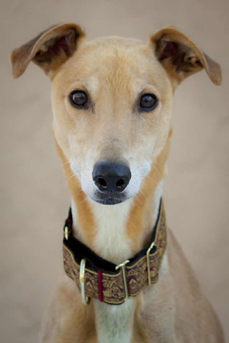 39 best greyhounds available for adoptionlinda anns
