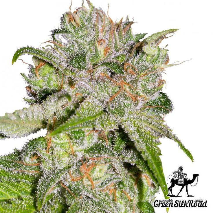 Auto Sweet Tooth Feminised is a new improved variation of the original strain with higher performance, allowing to receive up to 100 grams per bush. Its bushes are undemanding and very compact, reaching a height of no more than 60 centimeters. The resinous inflorescence smell like damp forest soil and bring a powerful body-high. The strain is resistant to temperature decrease and high humidity, and covers with an impressive layer of resin with up to 22% THC during maturation