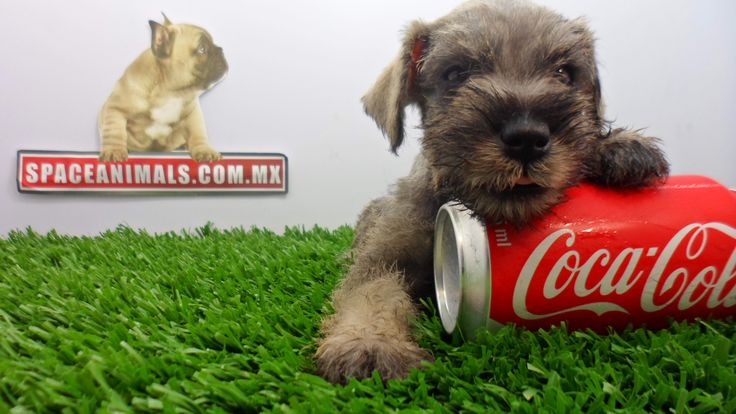 Aquí encontrarás ofertas, descuentos, paquetes en cachorros de raza Schnauzer miniatura trasportadoras , envio y Michochip GRATIS y más al mejor precio del mercado los encuentras aqui en http://www.VentadeCachorrosPerros.com ¡Entra Gratis! entrega Garantizada. Ventas por Teléfono: (01)(229) 2.60.31.86 / (01229) 3.06.02.03 / ID Nextel 42*15*597183 Móvil 22.99.60.60.77 / 22.92.91.20.91 WhatsApp Si estás en el extranjero llámanos al +52 229 260 3186