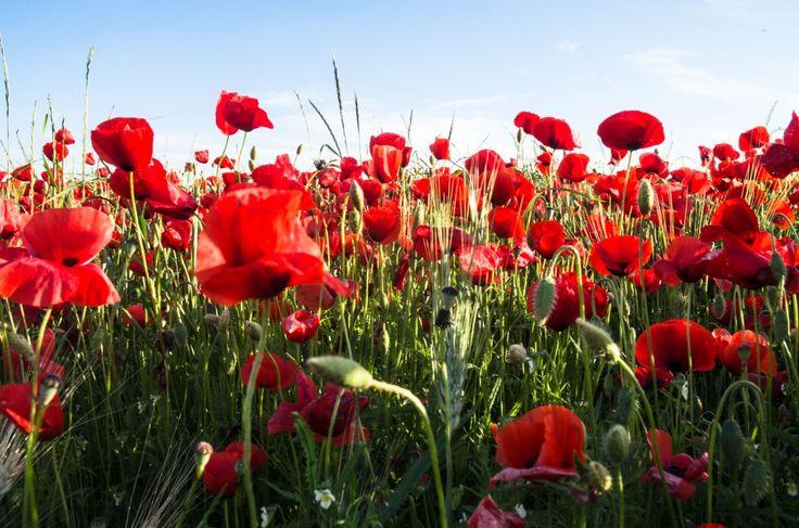 Rosso papavero - papaveri, fiori, fioritura, campi, paesaggio