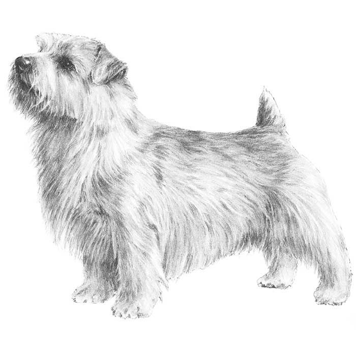 """Norfolk Terrier Breed Standard Illustration -The Norfolk Terrier, game and hardy, with expressive dropped ears, is one of the smallest of the working terriers. It is active and compact, free-moving, with good substance and bone. With its natural, weather-resistant coat and short legs, it is a """"perfect demon"""" in the field. This versatile, agreeable breed can go to ground, bolt a fox and tackle or dispatch other small vermin, working alone or with a pack. Honorable scars from wear and tear are…"""