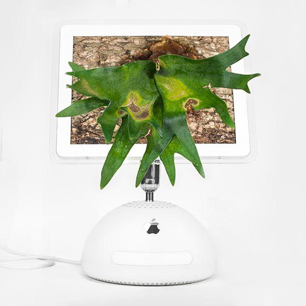Monsieur Plant © 2017 • Plant your Mac! • Macerium • Imac G4 / 2002 • Platycerium