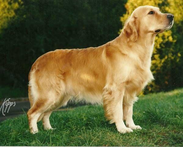 Eng Ch Stanroph Sailor Boy Kcjw 7 19 1990 8 8 2001 Call Name Sailor Goldenretrievernames Puppies Golden Retriever Names Labrador Dog