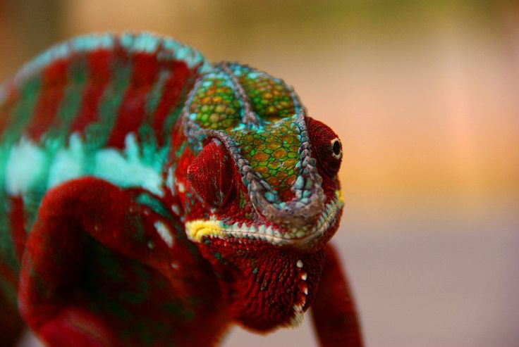 Colorful lizard, chameleon wallpaper