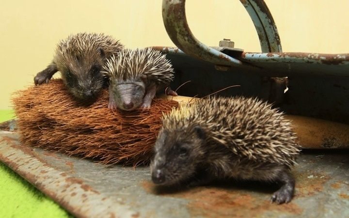 "Baby Hedgehogs Hanging On Hairy Brush -  The wet weather has persisted for nearly two months and probably will not subside until the Olympics begin, according to the Daily Mail. The heavy rains have affected the wildlife across the region, orphaning these baby hedgehogs. When they were rescued and taken to a wildlife rescue center, they snuggled inside a dustpan, ""perhaps mistaking the brush for their mom,"" suggested the Telegraph.: Hart Wildlife, Finding Comforters, Orphan Hedgehogs, Finding Baby, Comforters Inside, People Finding, Baby Hedgehogs, Wildlife Rescue, Wet Weather"