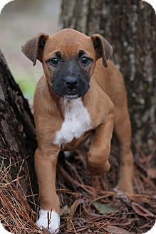 Natchitoches, LA - Boxer/Black Mouth Cur Mix. Meet Cara Mello a Puppy for Adoption.