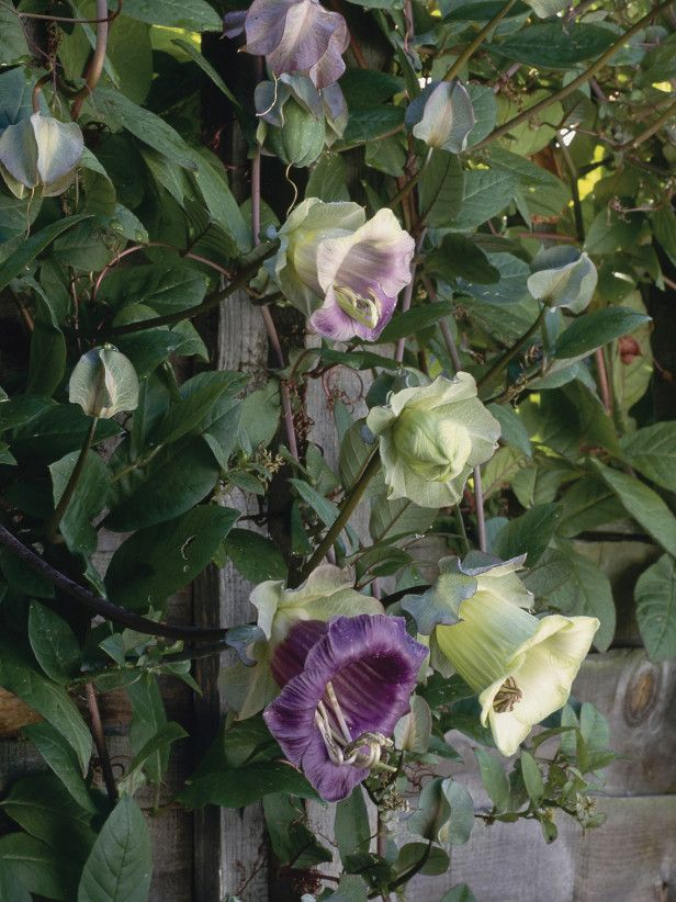 1000 images about climbing vining on pinterest climbing flowers wisteria and snow queen - Climbing plants that produce fragrant flowers ...