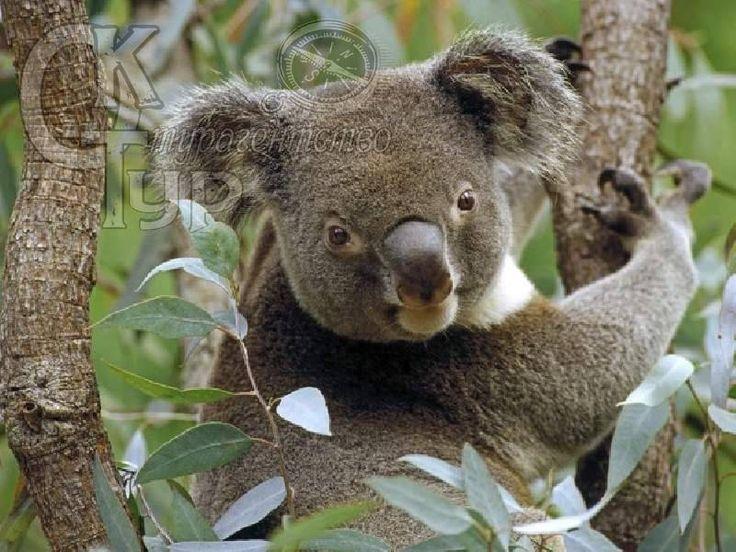 Обои Медведи Коалы Животные Фото 138363