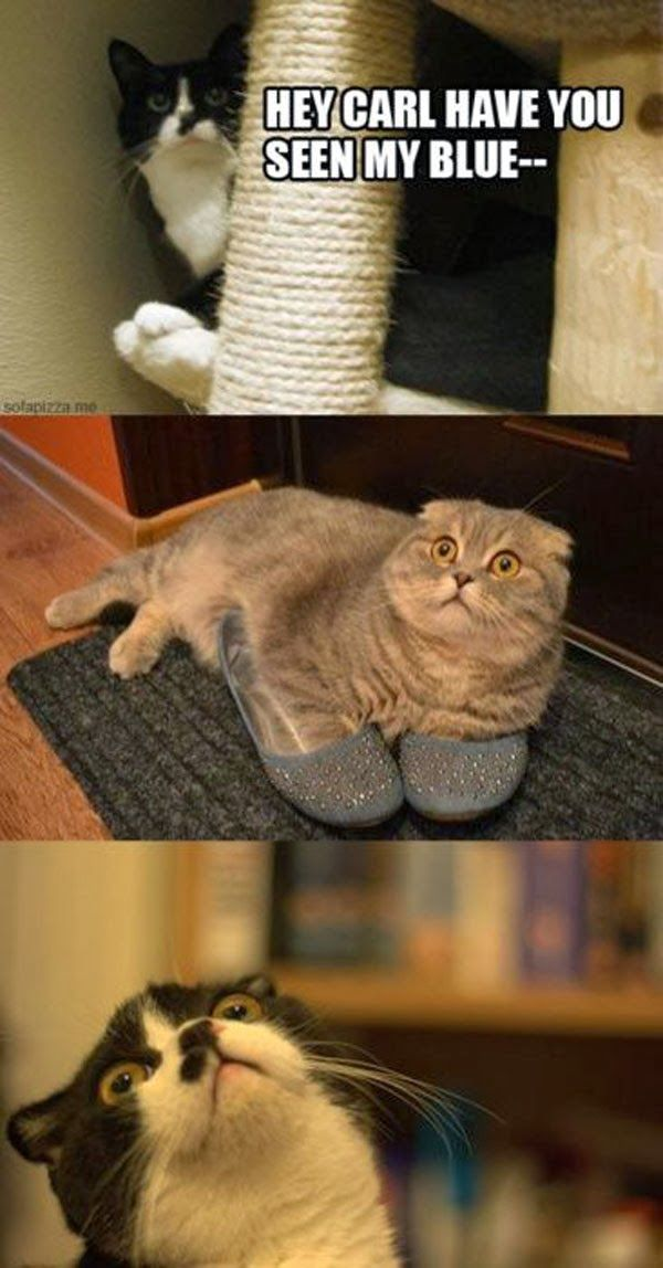 funny cat pictures ~ Blue ?