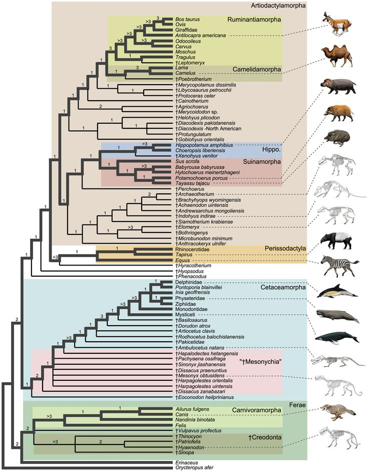 Artiodactylamorpha: Science Nerd, Onevenhoevigen Perissodactyla