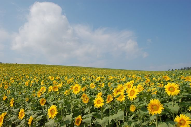 美瑛の向日葵の丘