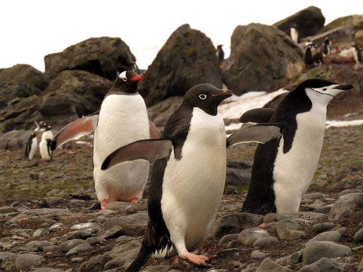 Tres especies de pingüinos. Pingüino de vincha (Pygoscelis papua), pingüino ojo blanco (Pygoscelis adeliae) y pingüino de barbijo (Pygoscelis antarcticus)