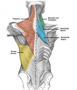 musculos superiorer de la espalda