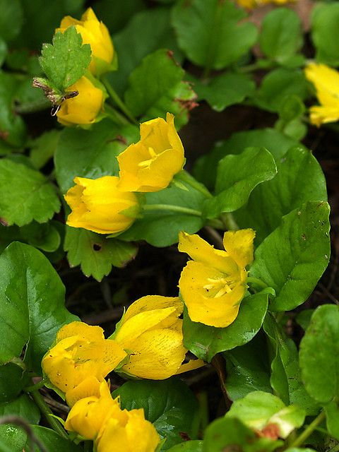 "Creeping jenny, a ground cover perennial flower, ~2-4"" high, needs to be contained- like ivy it will take over, can grow anywhere, I grow it in a 24hr/day shade spot and never water it, and it grows fine."