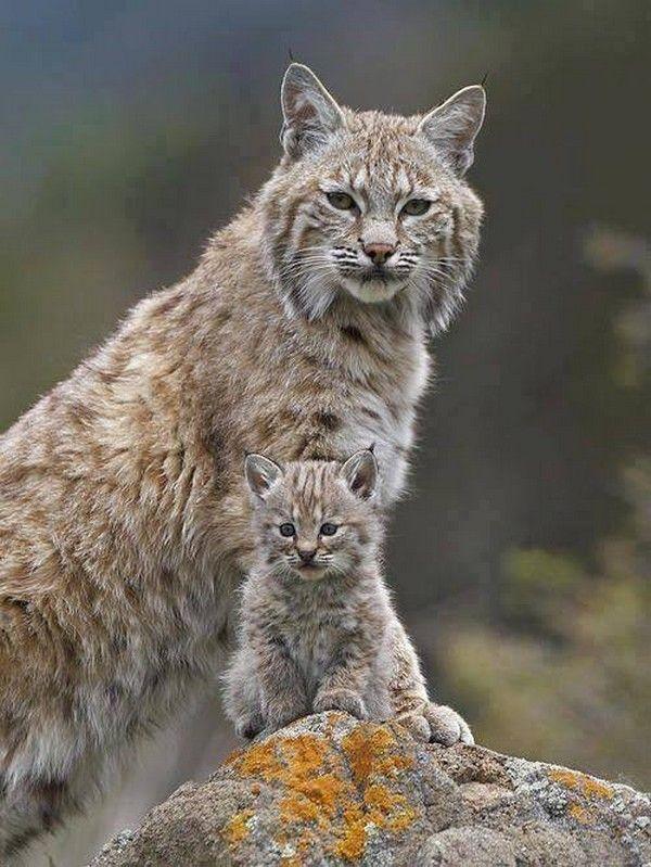 Magnificent lynx. tenderly... arcus.centerblog.net