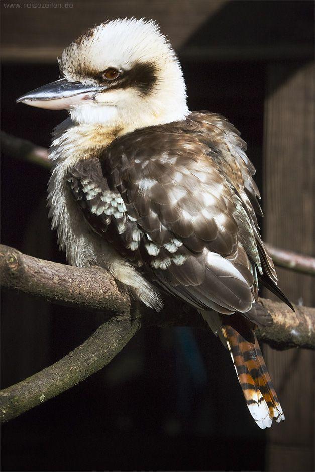 Kookaburra / Lachender Hans - Wildgehege Hellenthal