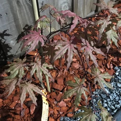 Japanese maple shigitatsu aka