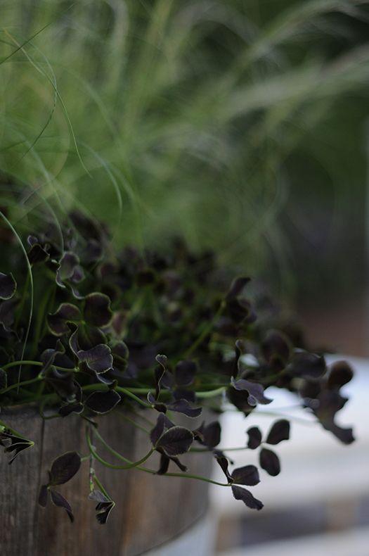 Trifolium, Zetas Trädgård   I  by Victoria Skoglund